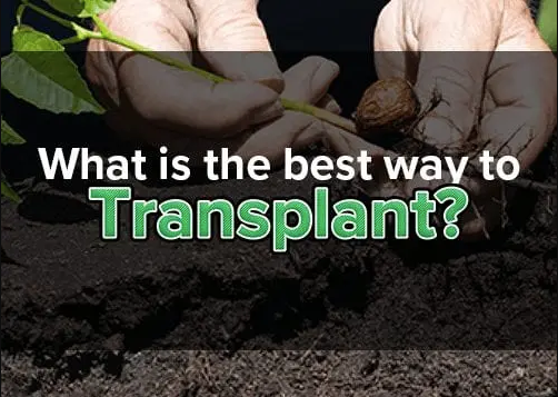 WHAT IS THE BEST WAY TO TRANSPLANT?
